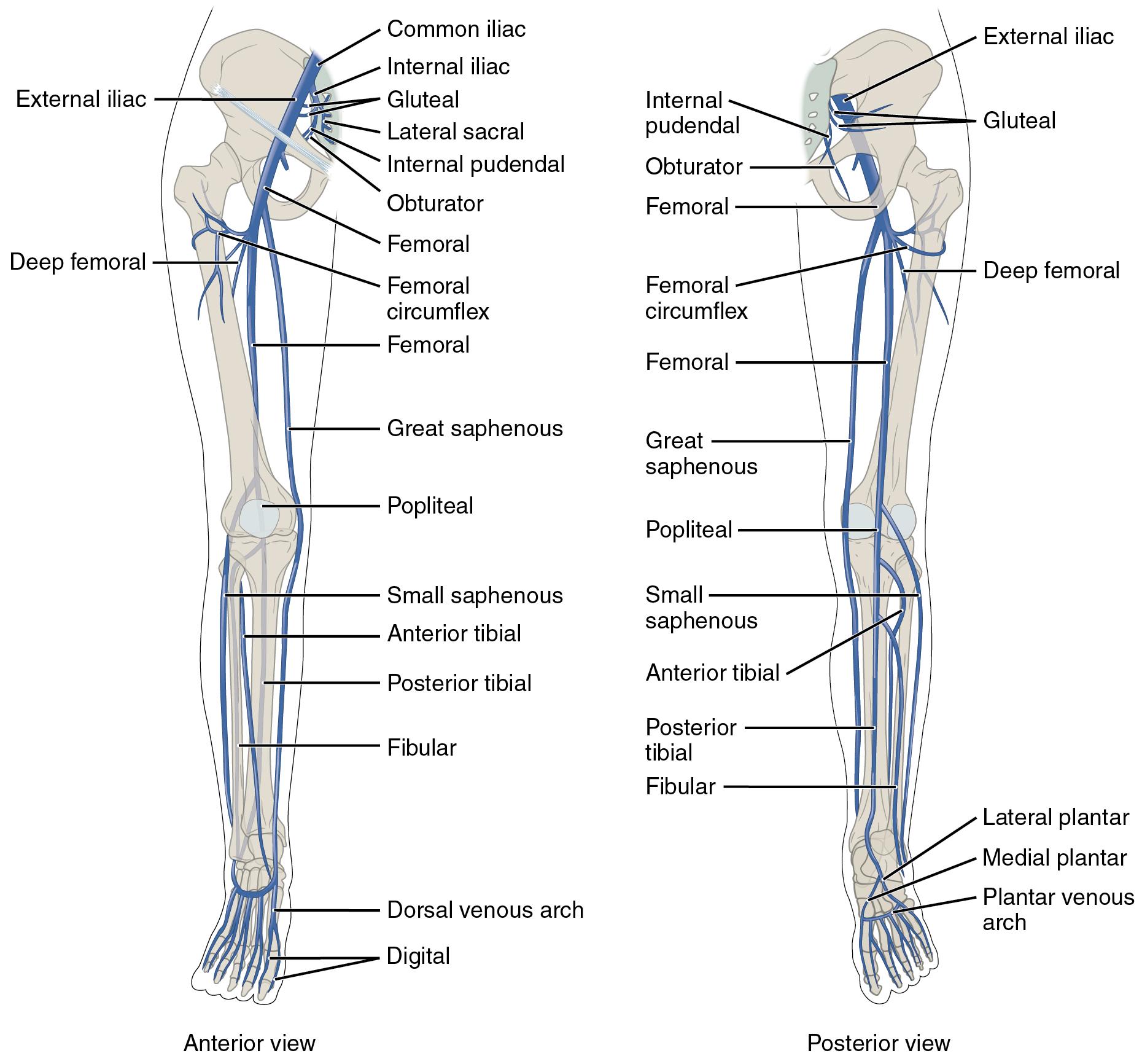 Major Veins Serving the Lower Limbs
