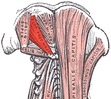 Major-posterior-rectus-capitis