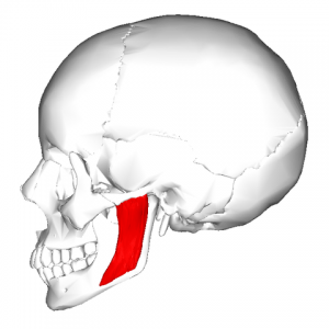 Masseter-muscle_lateral-view