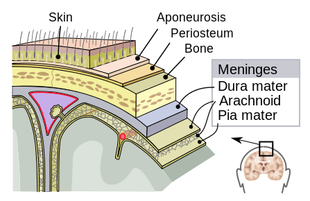 Meninges brain anatomy