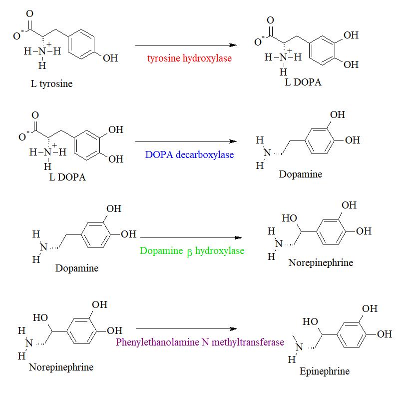 Metabolism of Tyrosine