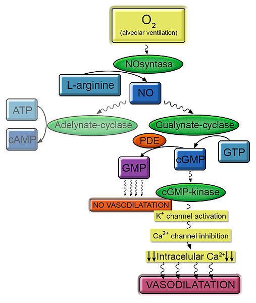 Molecular pathway of vasodilation mediated by cGMP