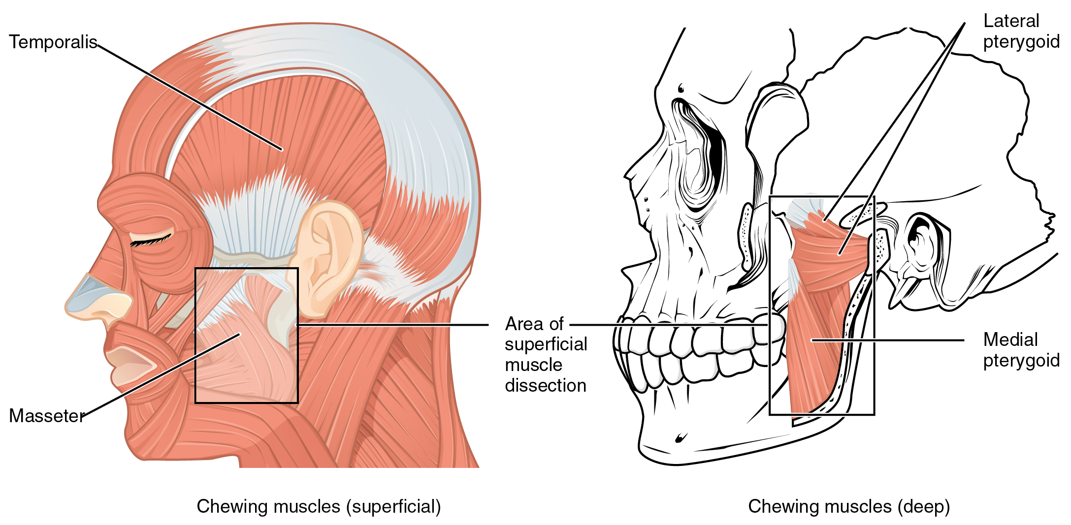 "Image: ""Muscles That Move the Lower Jaw"" by Phil Schatz. License: CC BY 4.0"