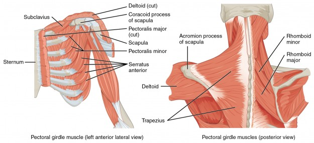 Muscles that Position the Pectoral Girdle