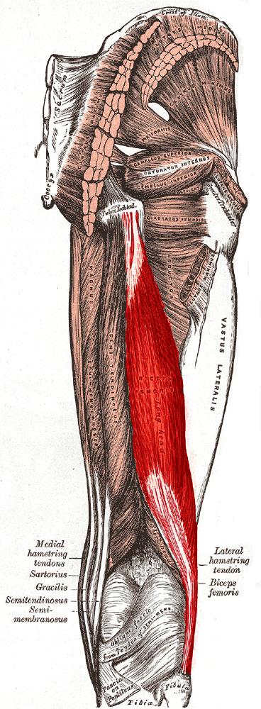 Musculus biceps femoris