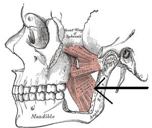 Musculus pterygoideus medialis