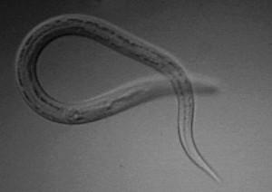 Necator Americanus (hookworm)