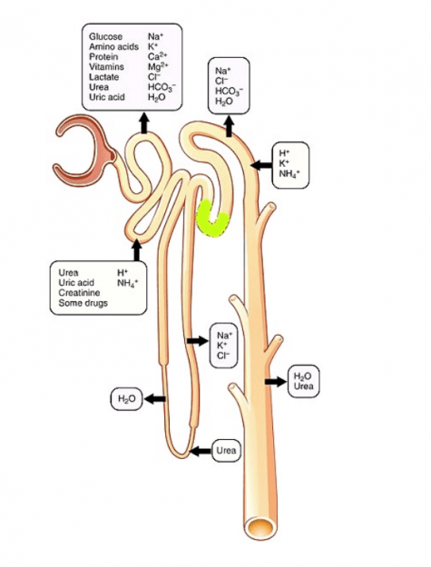 Nephron Secretion Reabsorption