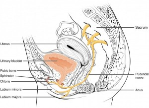 Nerves Innervating the Urinary System