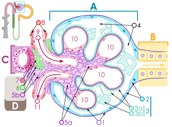 Schematic structure of the renal corpuscle: