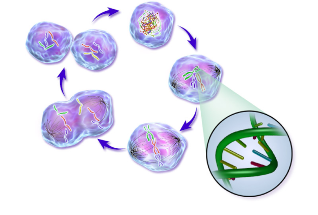Normal_Cell_Life_Cycle
