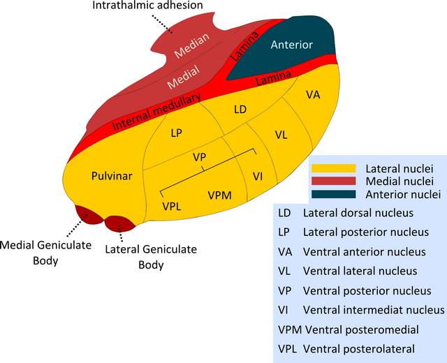 Nuclei of the thalamus