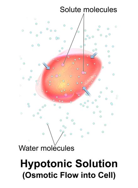 Osmotic Flow Hypotonic