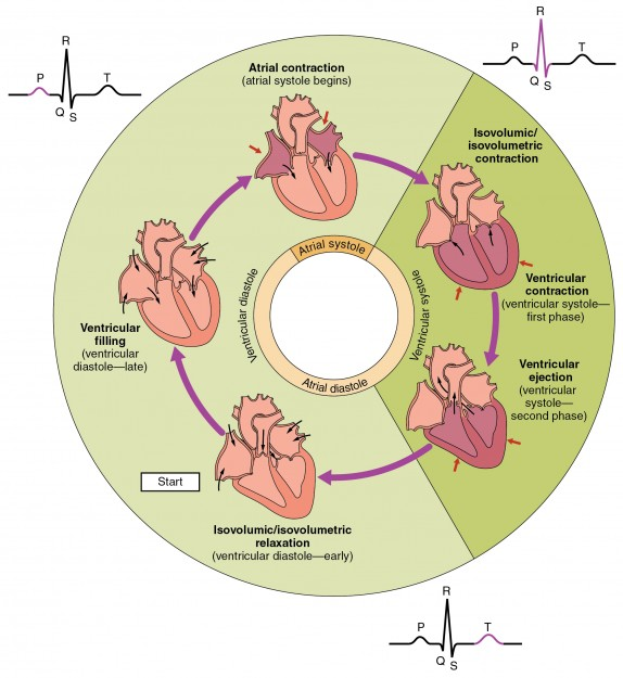 Overview of the Cardiac Cycle