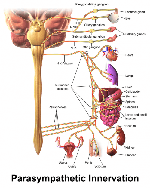 Parasympathetic Innervation