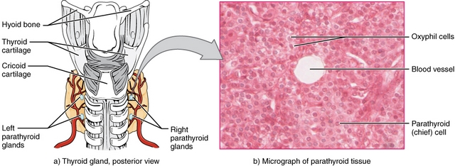 Parathyroid Glands and micrograph of them