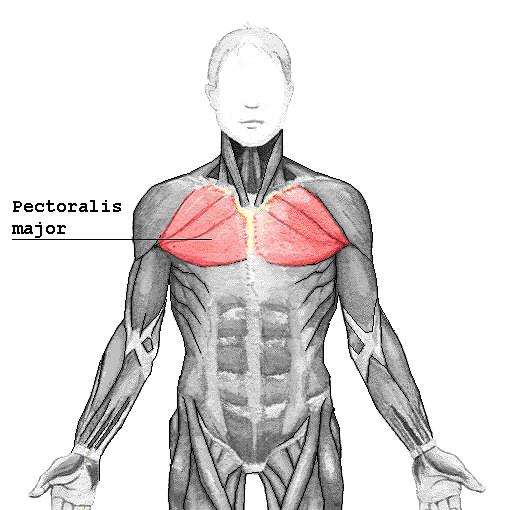 Pectoralis major
