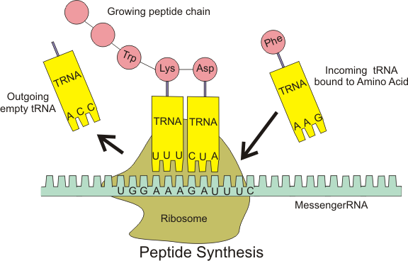 Peptide syn