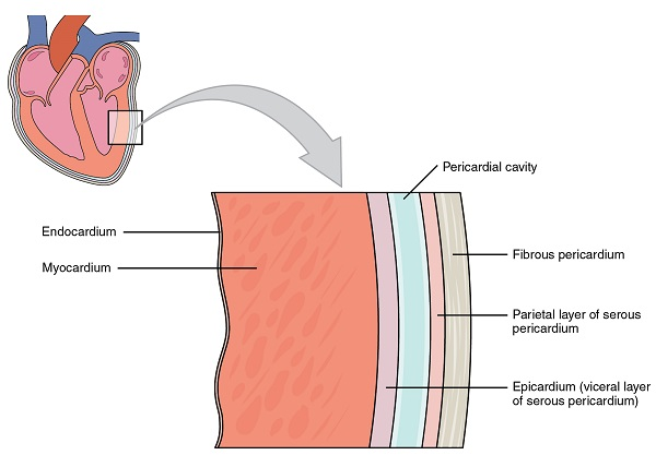 Pericardial Membranes and Layers of the Heart Wall