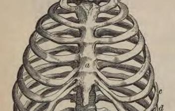 human torso rib cage