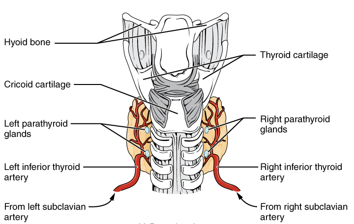Posterior thyroid