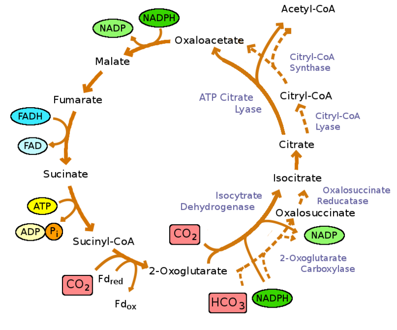 Reductive_TCA_cycle