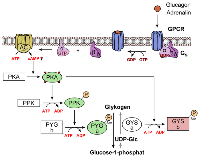 Regulation of glycogen metabolism and glucagon