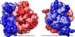Ribosome shape