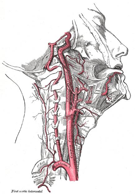 Right-Arteria-carotis