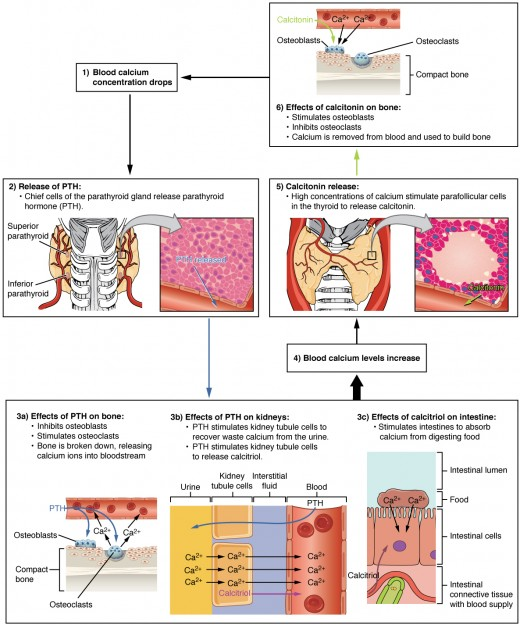 Role of Parathyroid Hormone in Maintaining Blood Calcium Homeostasis