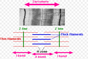 view of a sarcomere