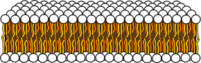 Schematic cross section of the lipid bilayer. The circles are the hydrophilic heads and the wavy lines are the fatty acyl side chains