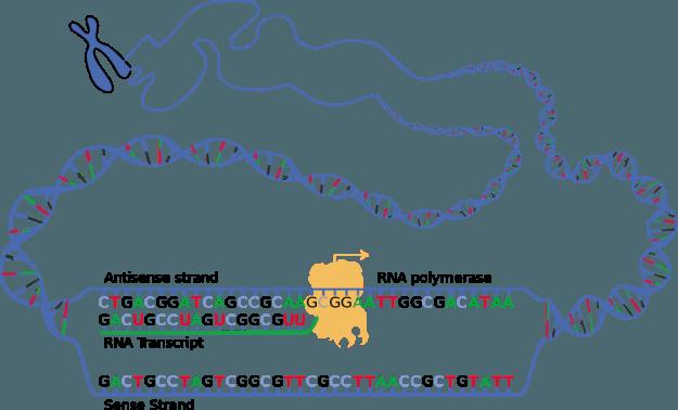 Schematische-Darstellung-der-beiden-DNA-Stränge-während-der-Transkription-sense-und-antisense-und-des-entstehenden-RNA-Transkripts