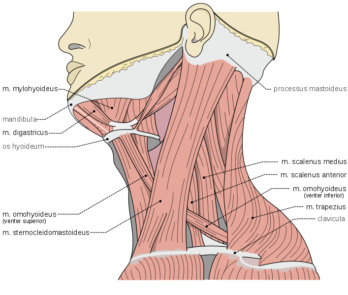 Scheme of muscles of neck