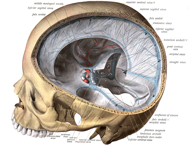 Septa of the dura mater