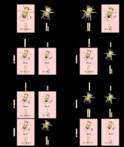 Sex-linked-inheritance-chromosome-theory