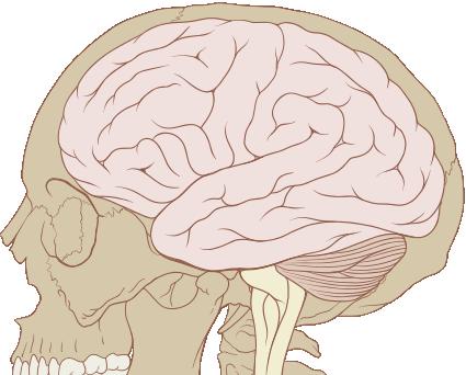 Skull and brain normal anatomy