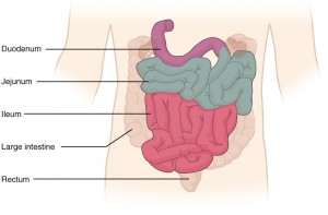 Colonic relations to neighboring organs