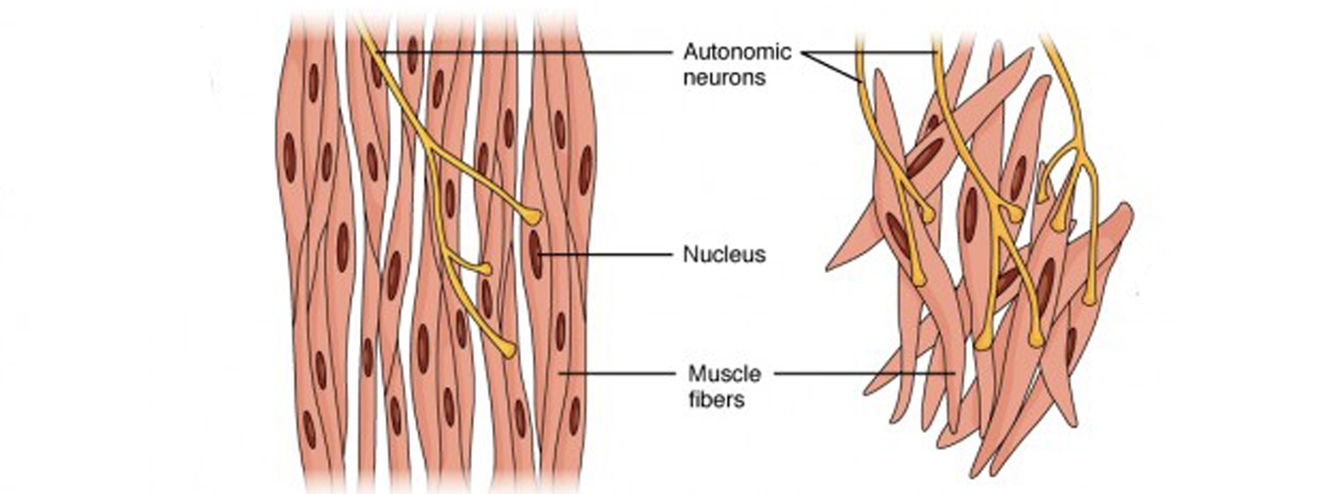 Muscle Physiology – Muscle Types & Contraction | Lecturio
