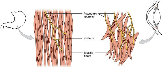 Smooth muscle tissue is found around organs in the digestive, respiratory, reproductive tracts and the iris of the eye