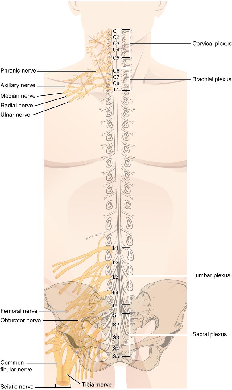 Spinal Nerve Plexuses