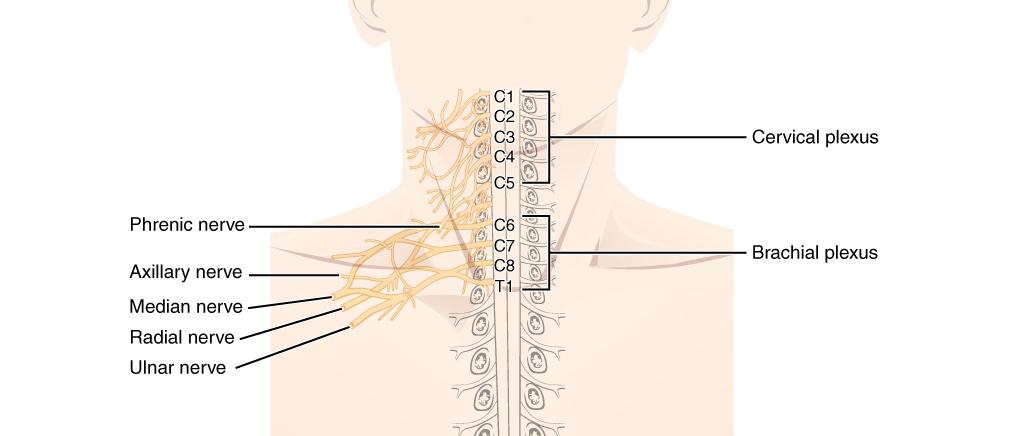 Spinal Nerves, Cervical & Brachial Plexus, Gray/White Matter
