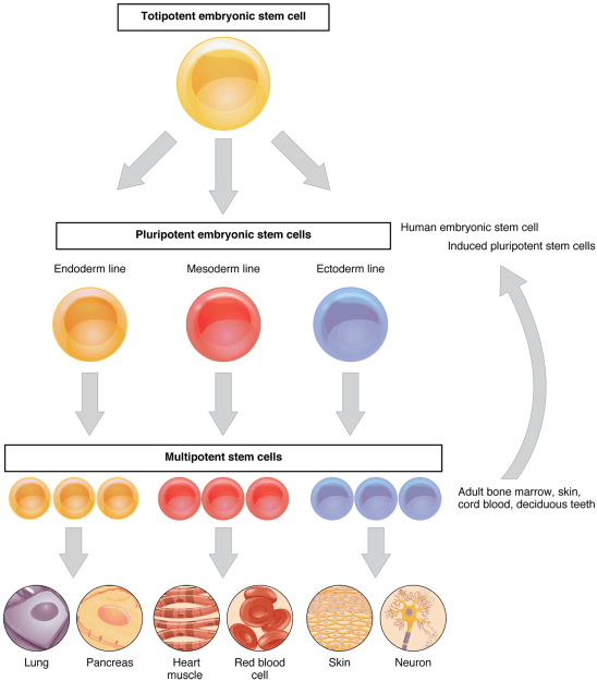 Stem Cells and Differentiation