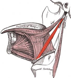 Stylohyoideus