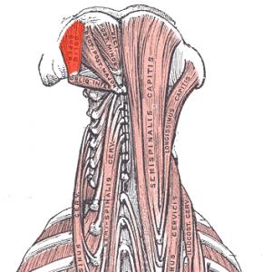 Superior-oblique-capitis-muscle