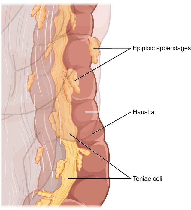 outer shape of the colon