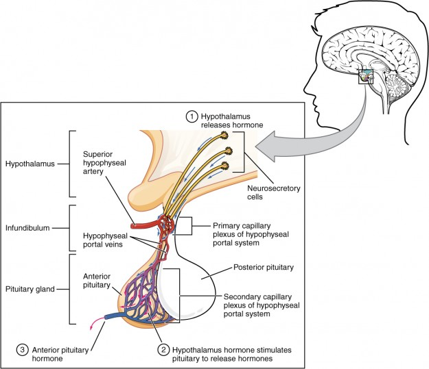 The Anterior Pituitary Complex