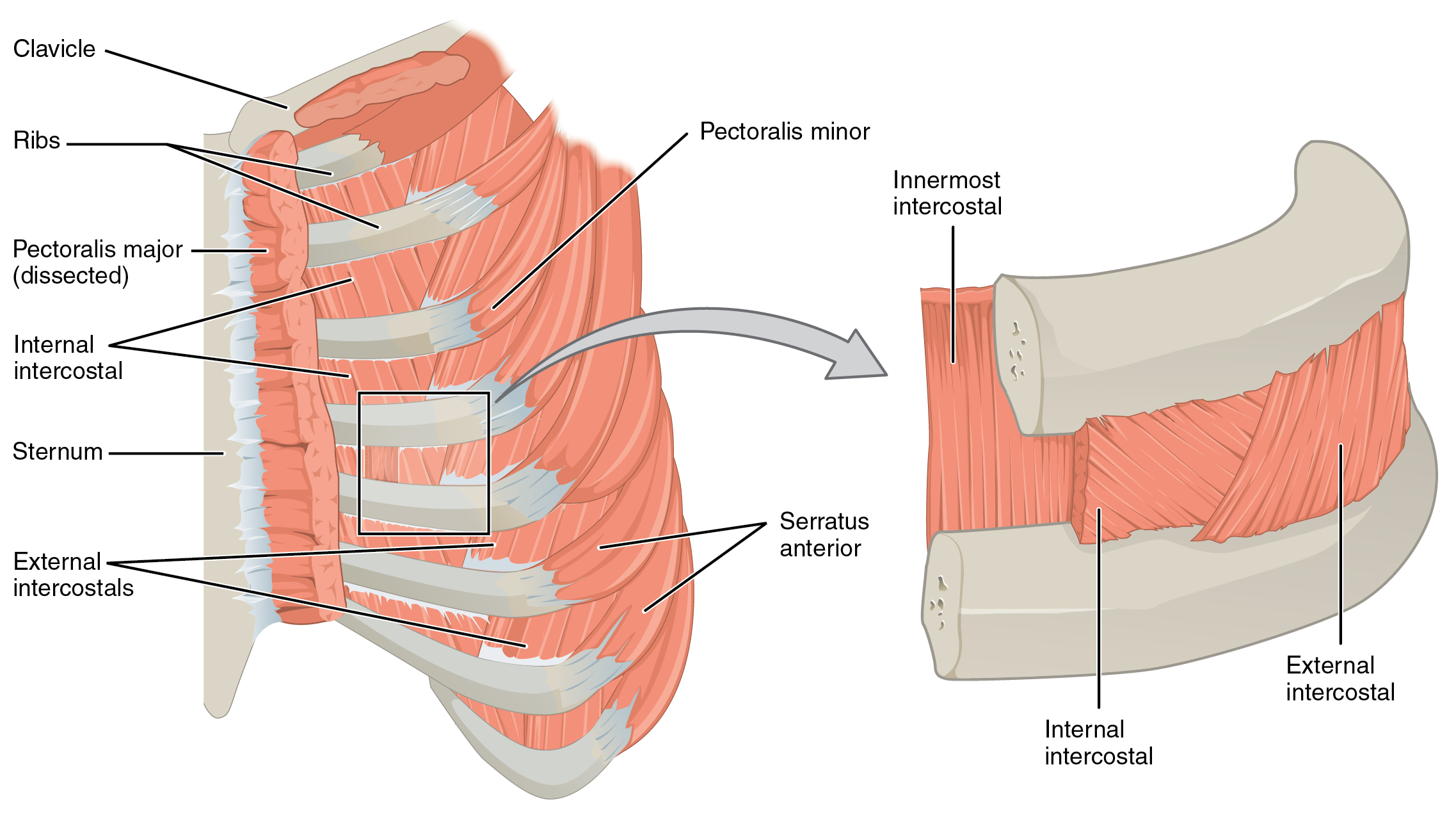 Thoracic and abdominal muscles lecturio online medical library primary chest wall muscles pooptronica Gallery