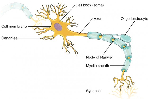 Image of a neuron