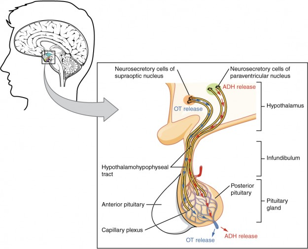The Posterior Pituitary Complex